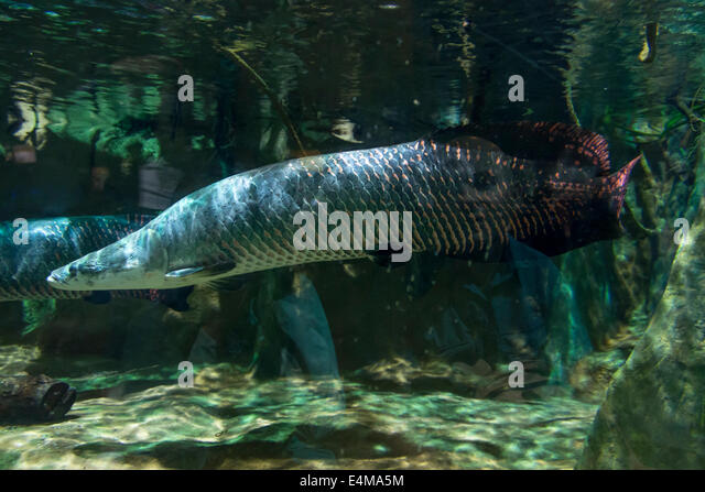 Arapaima Fish Stock Photos Arapaima Fish Stock Images