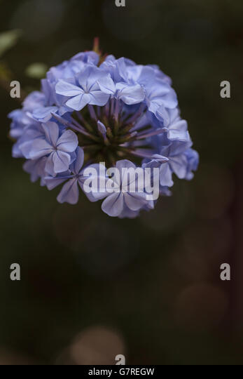Petrea volubilis stock photos petrea volubilis stock - What are blue roses called ...