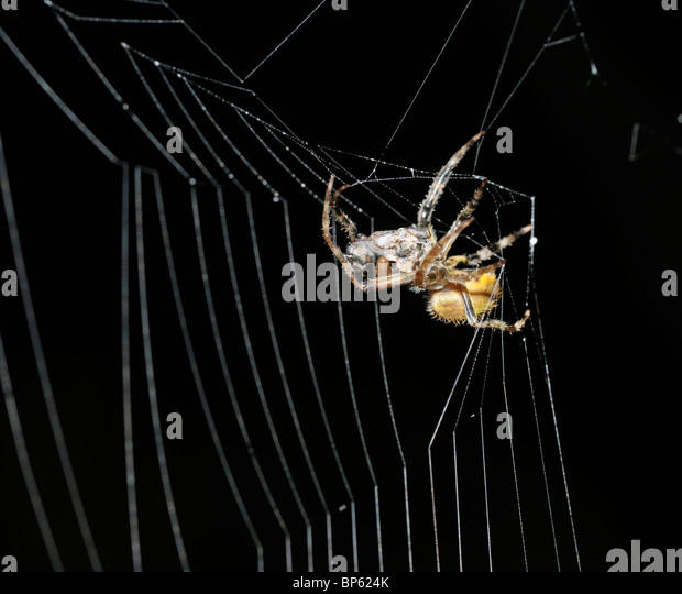 Spider in web with prey - photo#44