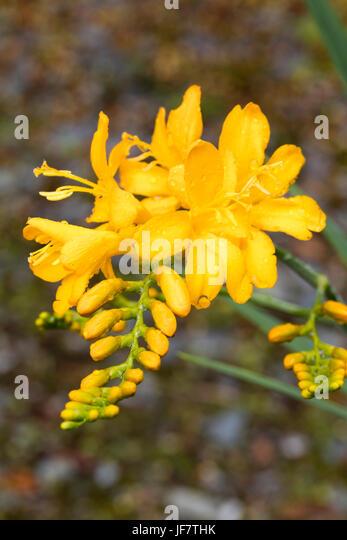 Yellow tubular flowers stock photos yellow tubular flowers stock bright yellow tubular flowers in the spike of the summer flowering crocosmia masoniorum pauls best mightylinksfo
