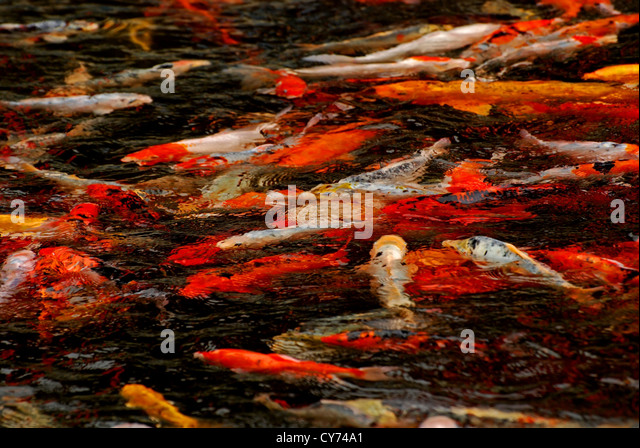 Garden ponds stock photos garden ponds stock images alamy for Chinese koi pond