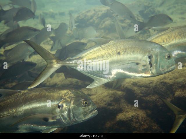 Homosassa stock photos homosassa stock images alamy for Florida state fish
