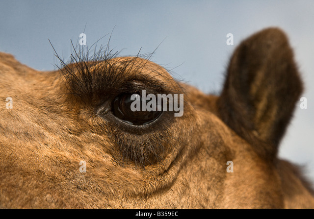 Animal Camel Eye Eyelashes Stock Photos & Animal Camel Eye ...
