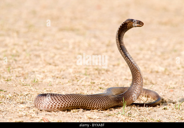 King Cobra  National Geographic Kids