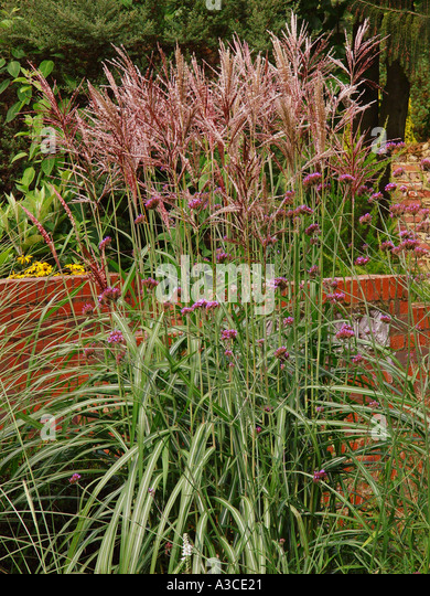 miscanthus sinensis 39 malepartus 39 stock photos miscanthus. Black Bedroom Furniture Sets. Home Design Ideas
