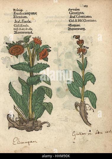 [Image: elecampane-inula-helenium-and-gentian-sp...hhm90k.jpg]