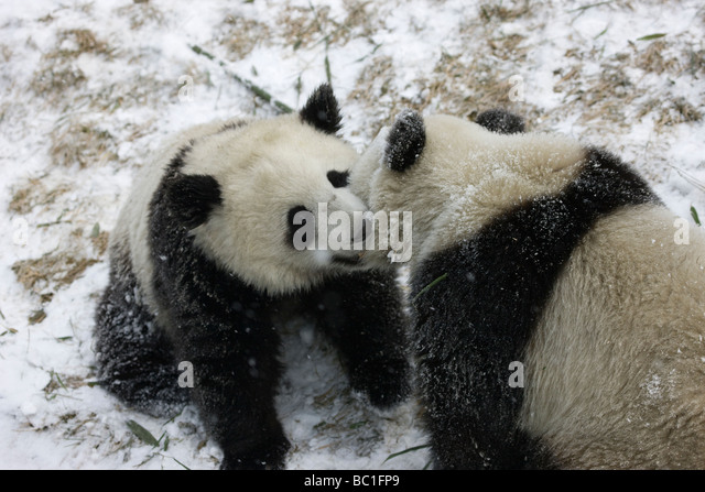 Panda cubs playing in snow - photo#18