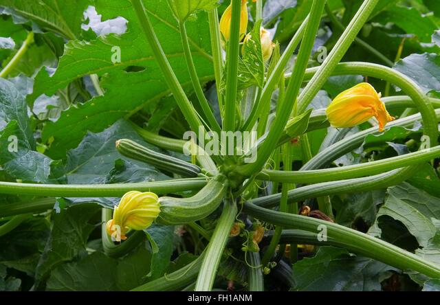 zucchini grun stock photos zucchini grun stock images. Black Bedroom Furniture Sets. Home Design Ideas