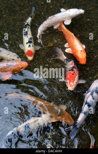 Taisho sanke stock photos taisho sanke stock images alamy for Carp fish pond
