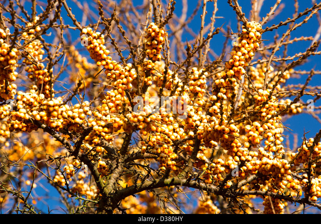 Sea buckthorn berry stock photos sea buckthorn berry stock images alamy - Growing sea buckthorn ...