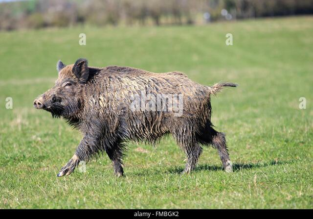 how to cook a wild boar in france