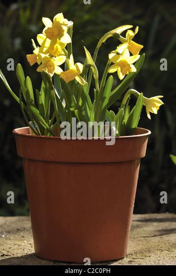 http://l7.alamy.com/zooms/18b52324f222496f949399c4c3dcdb9b/springtime-mini-yellow-daffodils-in-a-pot-c2c0ph.jpg