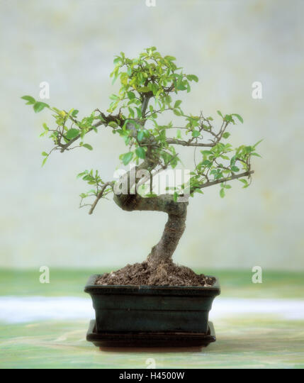 mini bonsai stock photos mini bonsai stock images alamy. Black Bedroom Furniture Sets. Home Design Ideas