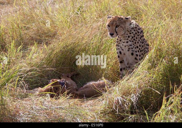Africa Lion Cheetah St...