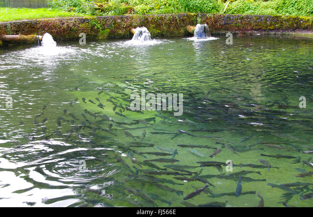 Pisciculture stock photos pisciculture stock images alamy for Breeding pond fish