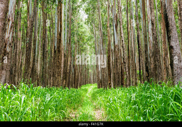 Gum Trees America Stock Photos & Gum Trees America Stock