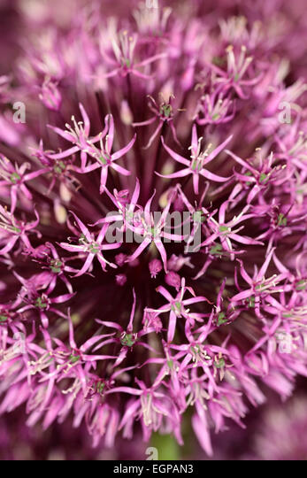 Small pink star shaped flowers image collections flower decoration small pink star shaped flowers image collections flower decoration small pink star shaped flowers gallery flower mightylinksfo