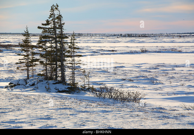 white spruce on the tundra hudson bay canada stock image - Coloration Hnn