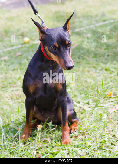 Brown Red Doberman Pinscher Stock Photos & Brown Red ...