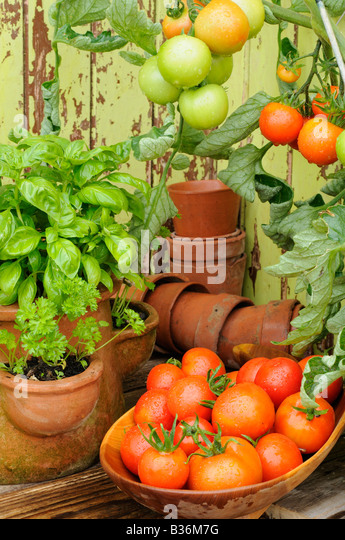 how to grow tomato in pots outside