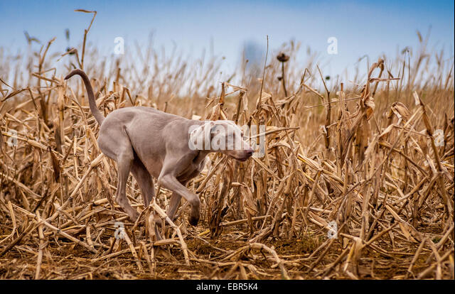 Duck Hunting Dog Stock Photos Amp Duck Hunting Dog Stock