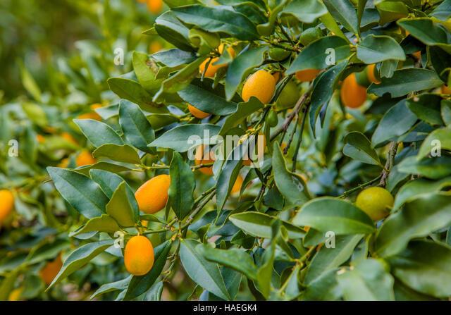 how to grow cumquat tree in australia