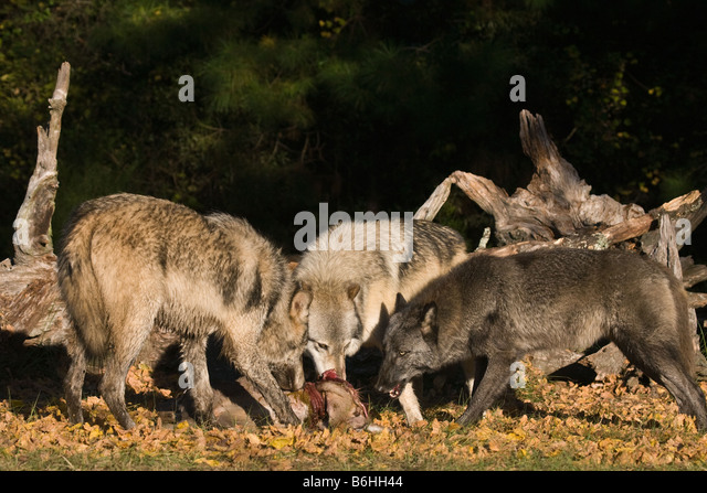 Wolf Hunt Stock Photos & Wolf Hunt Stock Images - Alamy
