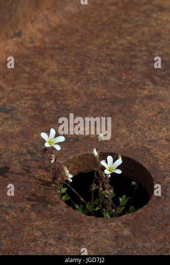 A delicate arctic flower grows in a small hole in some ruined metalwork at New London in Spitzbergen - Stock Image