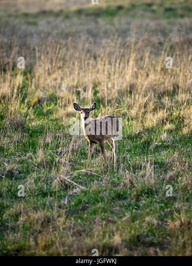 Young deer, Pennsylvania, USA. - Stock Image