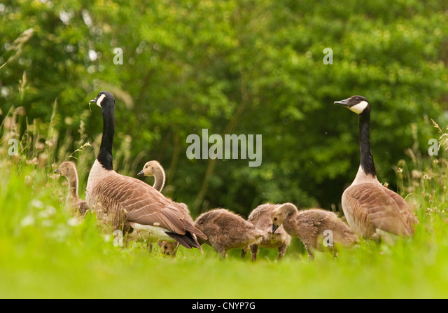 The Canada Goose Branta Canadensis 5 sheets.