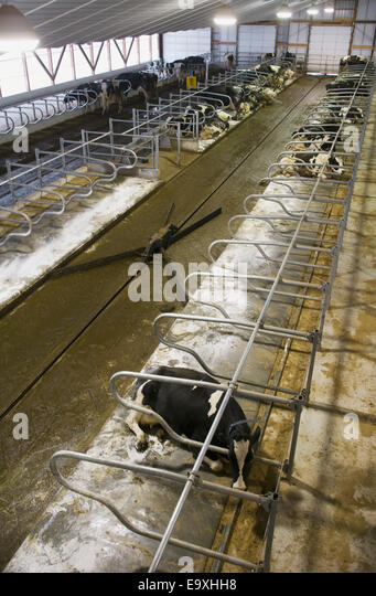 Stock photo interior of a new hi tech freestall dairy barn with an