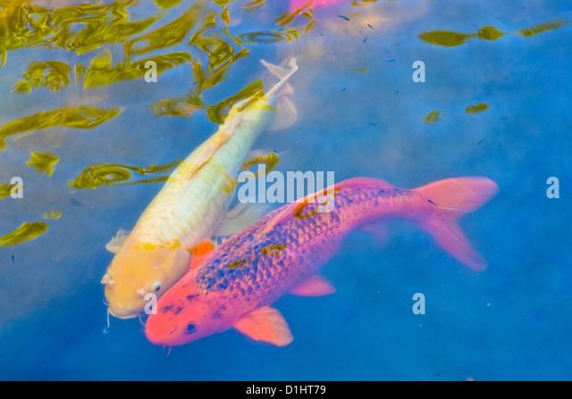 Koi fish stock photos koi fish stock images alamy for Koi fish swimming