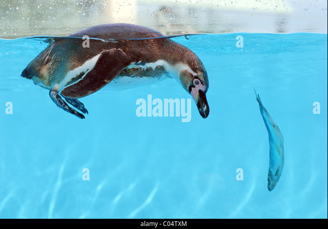 Humboldt penguin (Spheniscus humboldti) in water with a fish - Stock ...