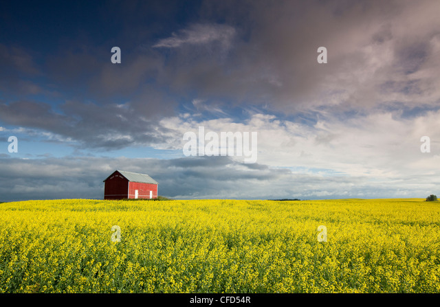 Surrounded By Canoloa Feilds Quotes: Saskatchewan Farm Canola Stock Photos & Saskatchewan Farm