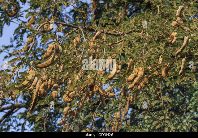 tamarind tree fruits stock photos  tamarind tree fruits stock, Beautiful flower