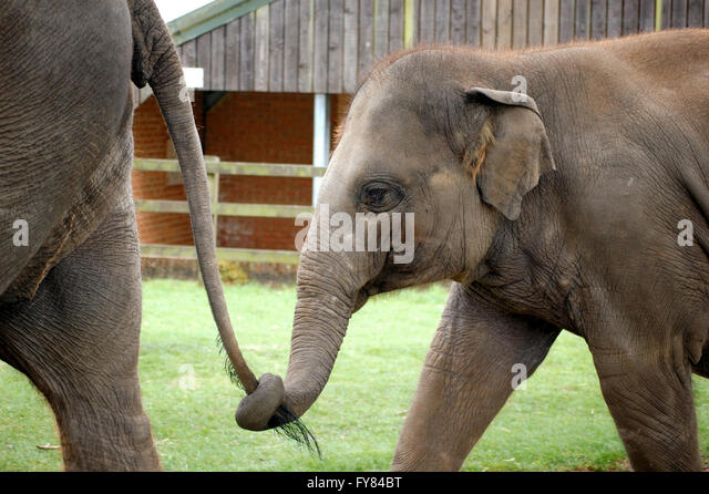 Baby Elephant Tail