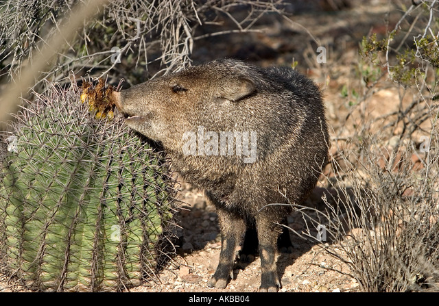 Javelina Arizona Stock Photos Amp Javelina Arizona Stock