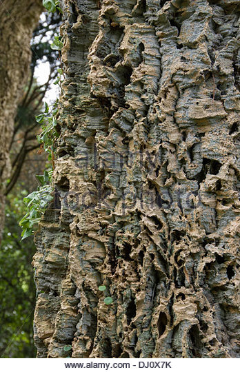Fissured Bark Stock Photos & Fissured Bark Stock Images ...