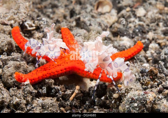 Harlequin Fish Stock Photos & Harlequin Fish Stock Images - Alamy