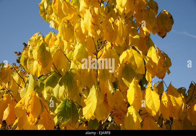 pawpaw plant stock photos  u0026 pawpaw plant stock images