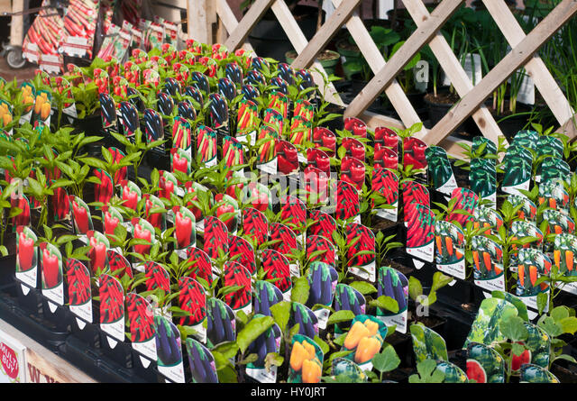 Terrific Garden Centre Uk Sale Stock Photos  Garden Centre Uk Sale Stock  With Licious Peppers Vegetables Small Plants On Sale At A Garden Centre Uk  Stock Image With Beautiful Inverurie Garden Centre Also Koh Samui Secret Garden In Addition Porton Down Garden Centre And Continental Garden Reef Resort As Well As Helios Pharmacy Covent Garden Additionally Slate Garden Tiles From Alamycom With   Beautiful Garden Centre Uk Sale Stock Photos  Garden Centre Uk Sale Stock  With Terrific Continental Garden Reef Resort As Well As Helios Pharmacy Covent Garden Additionally Slate Garden Tiles And Licious Peppers Vegetables Small Plants On Sale At A Garden Centre Uk  Stock Image Via Alamycom