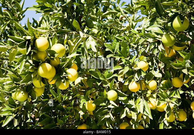 grapefruit tree stock photos  grapefruit tree stock images  alamy, Natural flower