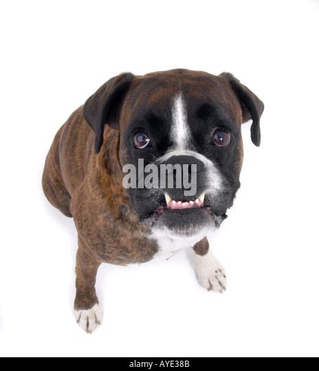 Angry boxer dog teeth - photo#26