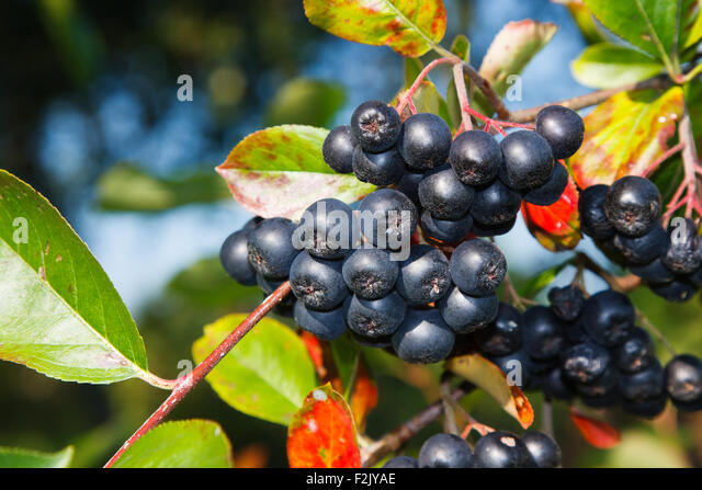 black chokeberry aronia melanocarpa stock photos black. Black Bedroom Furniture Sets. Home Design Ideas