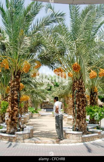 Judean date palm in Brisbane