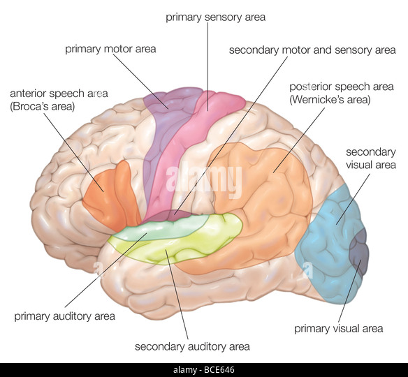 Primary motor cortex stock photos primary motor cortex stock diagram of the lateral view of the human brain showing the functional areas motor ccuart Image collections