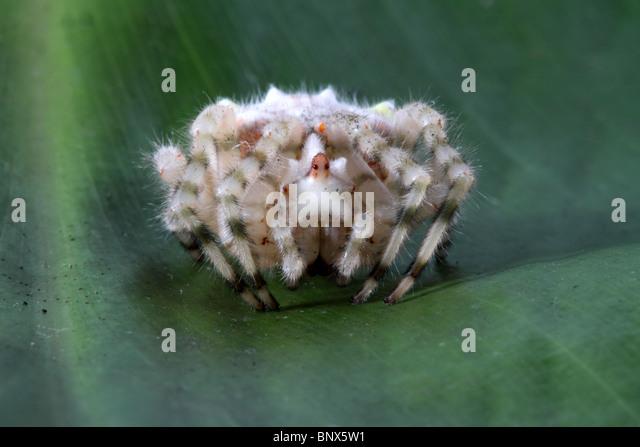 bolas spider stock photos  u0026 bolas spider stock images