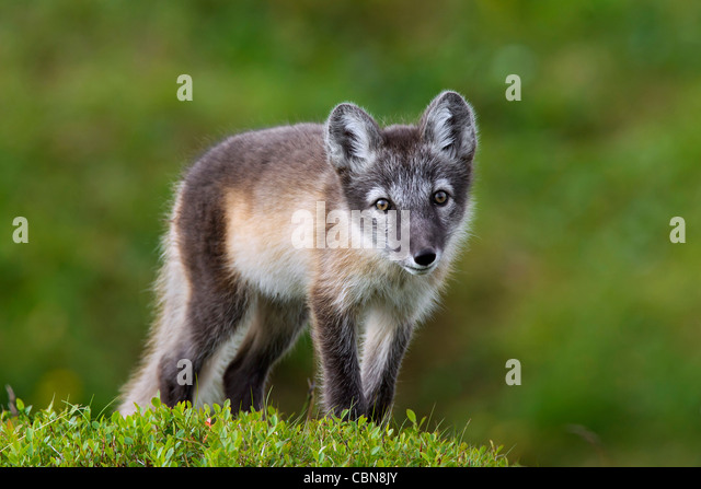 Tundra Arctic Fox In Summer Arctic Fox In T...