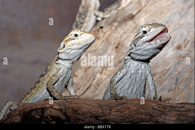 bearded dragon licking lips