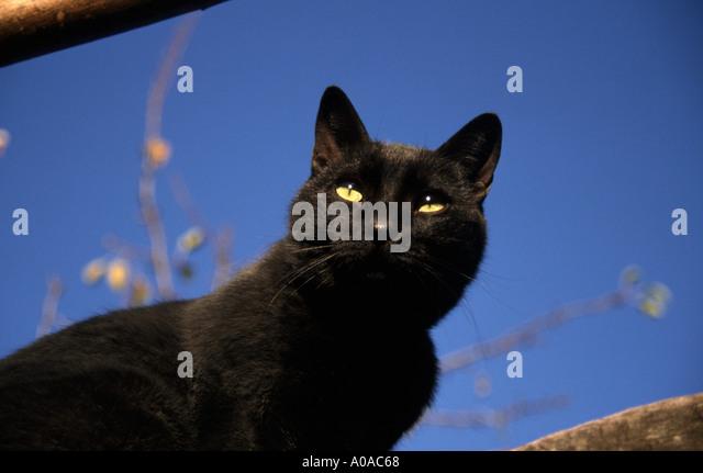 Black Cat Superstition Stock Photos Amp Black Cat
